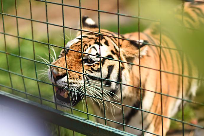 tiger tea paradise wildlife park